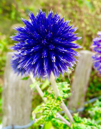Echinops ritro Veitchs Blue, Globe Thistle Echinops Ritro Echinops Globe Thistle Flower Beauty In Nature Purple Vulnerability  Growth Blue Flower Head Freshness Nature Close-up Focus On Foreground Day Petal Botany