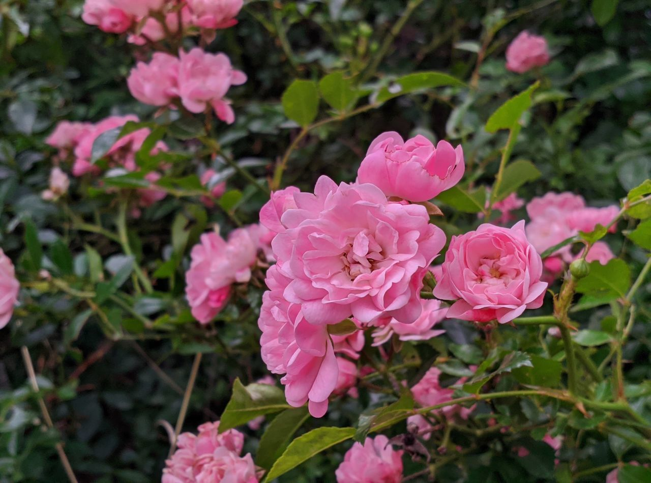 CLOSE-UP OF PINK ROSES IN BLOOM