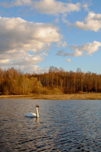 rural landscape with swan Animal Themes Animal Wildlife Animals In The Wild Beauty In Nature Bird Cloud - Sky Day Lake Nature No People Outdoors Sky Swan Swimming Tree Water