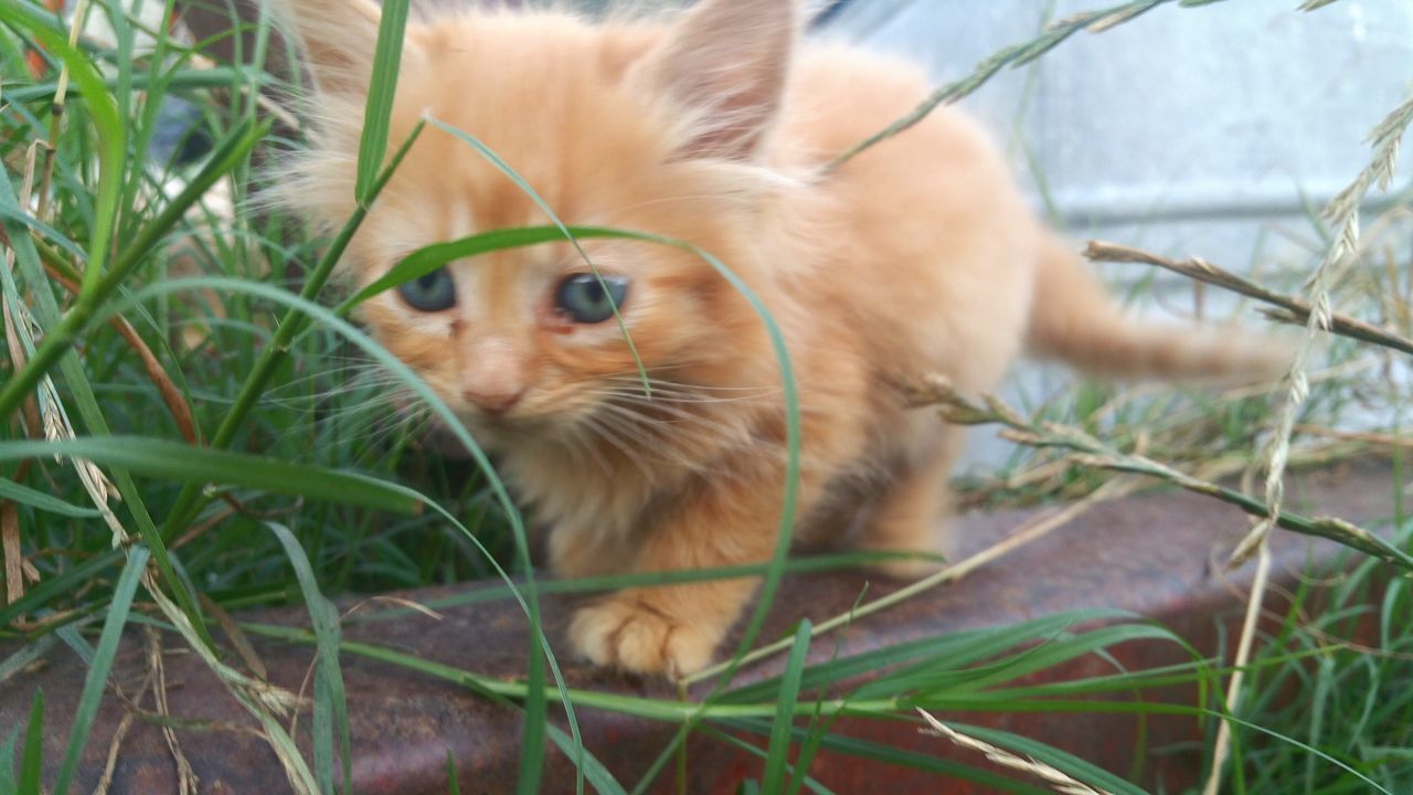 domestic, pets, cat, animal themes, mammal, feline, one animal, animal, domestic animals, domestic cat, plant, vertebrate, grass, no people, close-up, selective focus, nature, field, relaxation, whisker, ginger cat, animal head