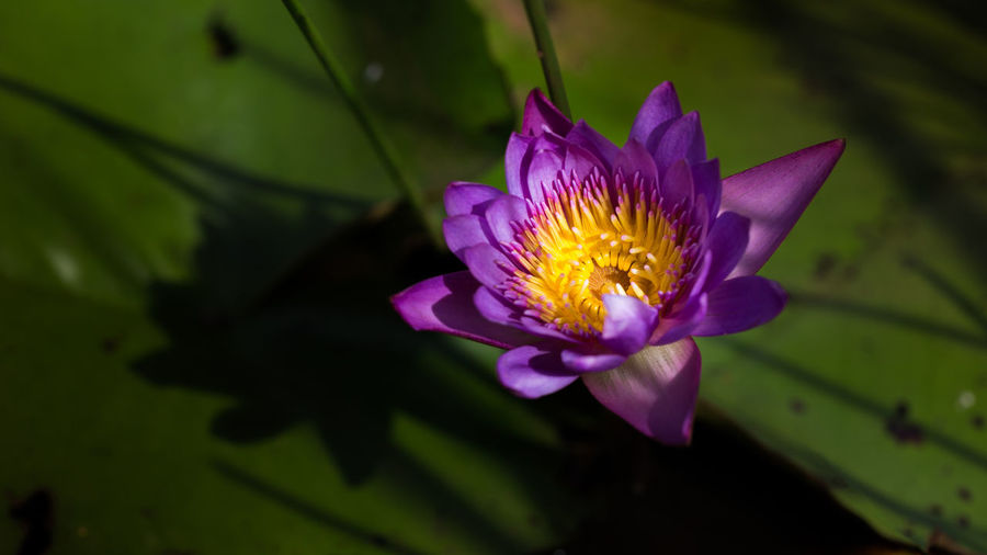Close-up of water lily blooming outdoors