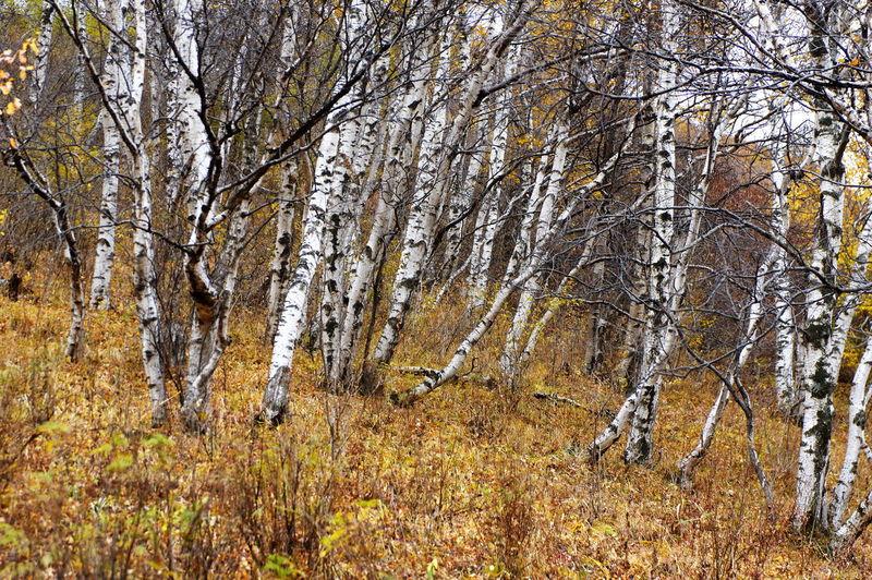 秋天 白桦林