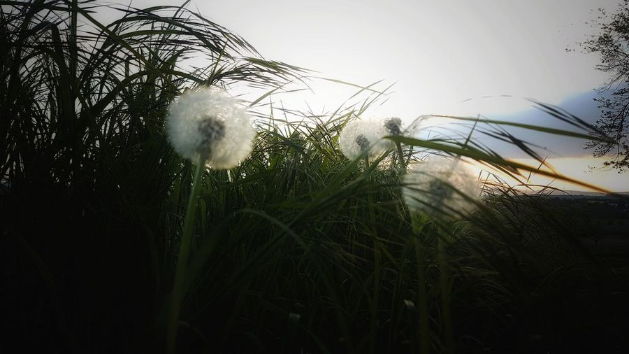 nature Landscape Landscape_Collection Dandelions Nature Photography Enjoying The View Romantic Enjoying Nature Nature Springtime Sunshine Focus On Details Love Beautiful Filigran Flowers Sunrays Wildflowers Simple Beauty Simple And Beautiful Simple And Pure EyeEm Gallery EyeEm Best Shots EyeEm Nature Lover Spring Tree Flower Sky Grass Close-up Plant Cultivated Land Agricultural Field
