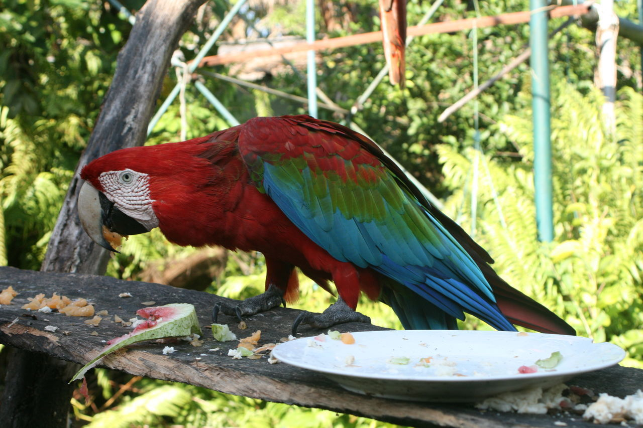 Scarlet Macaw Perching On Tree At National Park