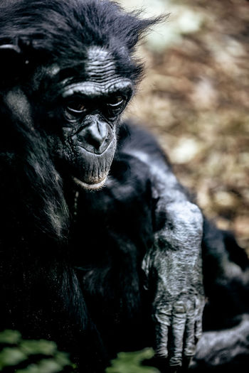 zoo Animal Animal Head  Animals Berlin Black Color Close-up Day Expression Eye Focus On Foreground Gorilla Love Mama Mammal Mother Nature Nature Nature Photography Nature_collection Naturelovers Outdoors Portrait Selective Focus Zoo Zoo Animals