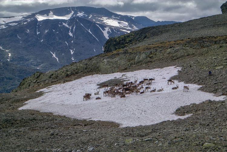 Herd of reindeer on snow at mountain