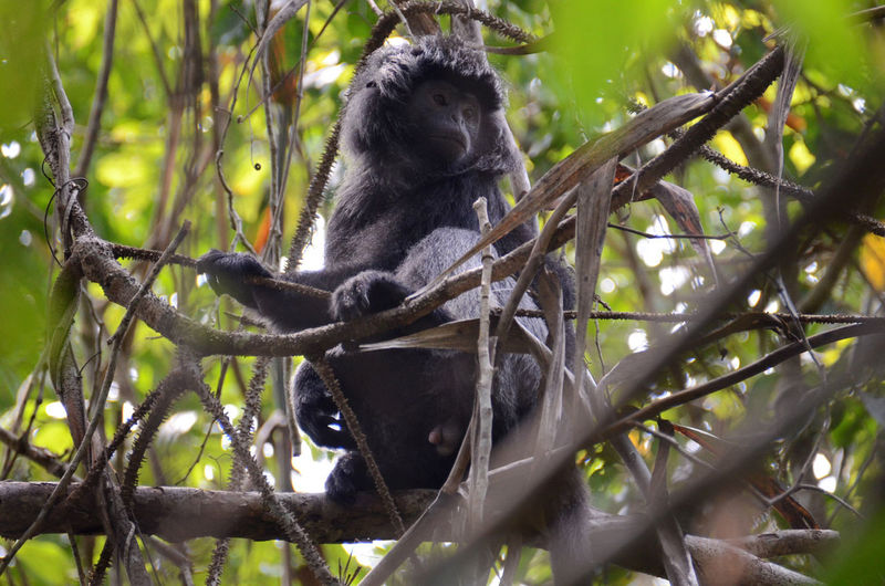 The Java Lutung Java Lutung Animal Animal Themes Animal Wildlife Animals In The Wild Branch Day Focus On Foreground Forest Low Angle View Mammal Monkey Nature No People One Animal Outdoors Plant Primate Sitting Tree Vertebrate