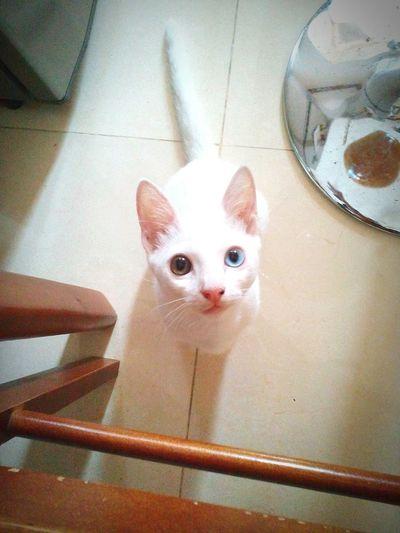 White cat. Color Eyes Different Eye Color Cat White Animal EyeEm Eyeemanimals EyeemPhilippines