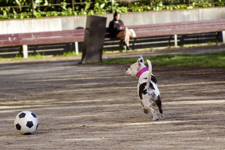 Animal Themes Ball Day Dog Dog Running Grass Mammal One Animal Outdoors Pet Pets Run Running