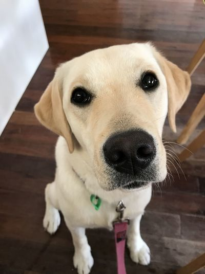 Dog Canine Domestic Pets Domestic Animals One Animal Mammal Portrait Looking At Camera Puppy Indoors  Flooring Close-up Young Animal No People High Angle View Labrador Labrador Puppy