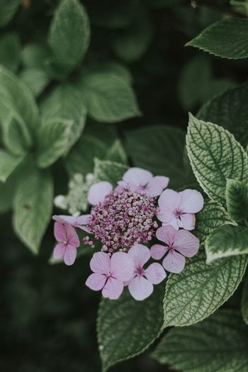 Hydrangeas everywhere 💕 Flower Growth Petal Fragility Freshness Beauty In Nature Blooming Flower Head Pink Color Hydrangea Outdoors Focus On Foreground Outdoor Photography EyeEm Best Shots EyeEm Nature Lover Summertime Tranquil Scene EyeEm Gallery Park - Man Made Space Venice, Italy Venezia