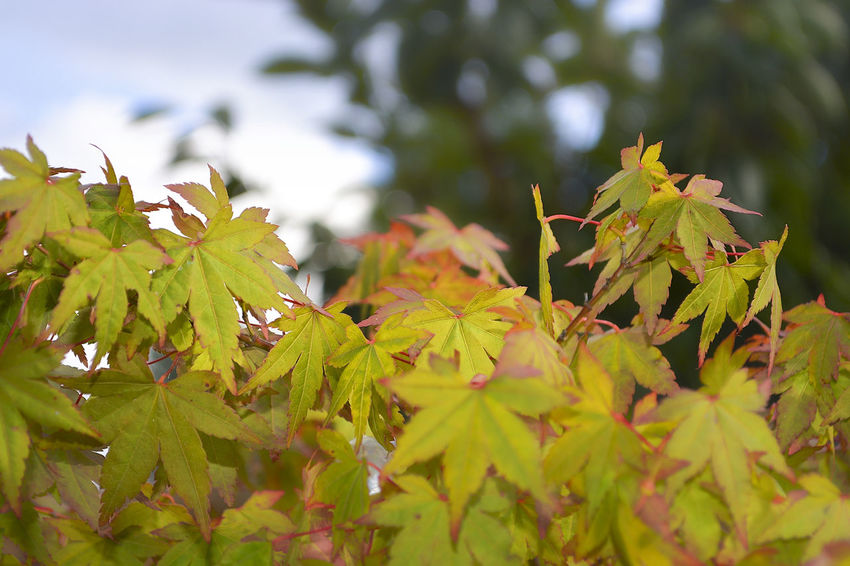 New Japanese Maple leaves looking fresh in the spring sunshine. Natural Nature New Life Sapling Tree Vivid Colours  Beauty In Nature Beginnings Bokeh Photography Close-up Focus On Foreground Fragility Freshness Green Color Leaves Maple Leaf Maple Tree New Growth Outdoors Saturation Selective Focus Spring Summer Sunshine Unfolding First Eyeem Photo