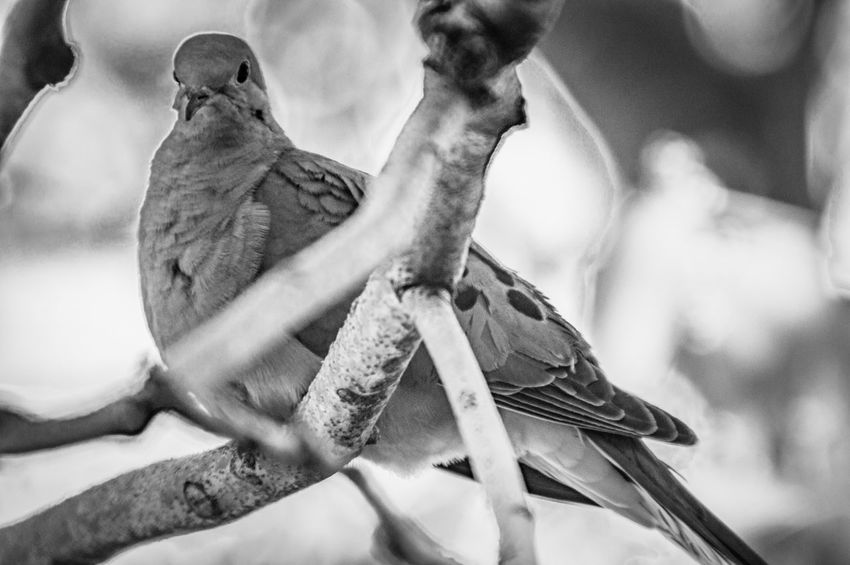 From Below Perched Bird Mourning Dove Bird Watching Black And White Bird Monochrome_life EyeEm Selects Animal Themes No People Animal Close-up Animals In The Wild Focus On Foreground Animal Wildlife Bird One Animal Nature