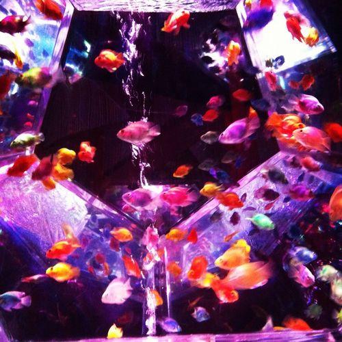 金魚 アクアリウム