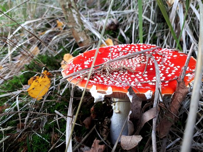 Mushroom Fliegenpilz Red Red Color Nature Naturelovers Fly Agaric Mushroom Fly Agaric Toadstool Fungus Mushroom Red Close-up Grass Fall Woods Autumn Change Autumn Collection Leaf Leaves Fallen Poisonous Season  Growing