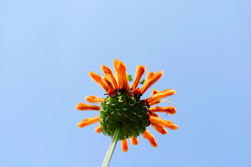 Leonotis Leonurus Lion's Ear Botany EyeEm Selects Copy Space Close-up Flower Sky No People Nature Flowering Plant Plant Low Angle View Growth Blue Beauty In Nature Freshness Day Petal Fragility Orange Color Green Color Flower Head