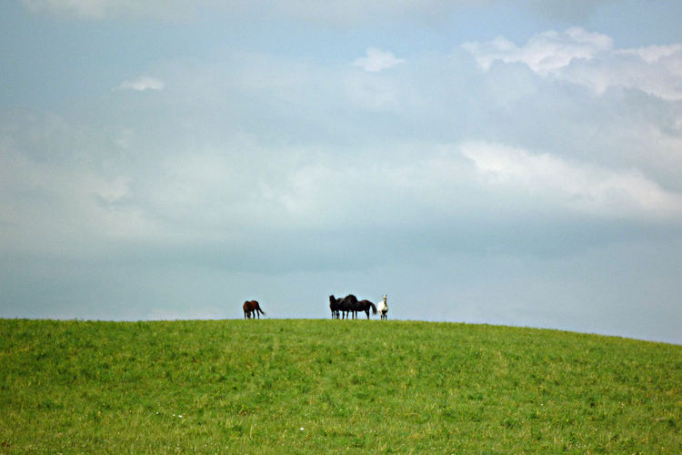 Animal Themes Beauty In Nature Cattle Cloud - Sky Day Domestic Animals Farm Animal Field Grass Green Color Horses On A Field Landscape Mammal Nature No People Outdoors Pasture Scenics Sky Tranquil Scene Tranquility