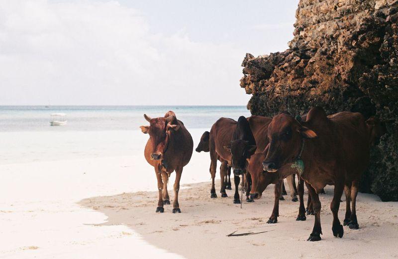 Cows walking at beach against sky