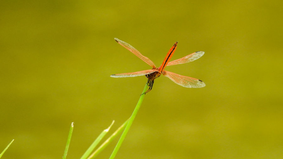 Nikon p900 116mm / f5.6 / 1/500s / ISO360 Close-up Compoundeye Depth Of Field Dragonfly Grass Insects Of The World Nature Photography Naturelovers Natute_collection Randomclick Wings First Eyeem Photo