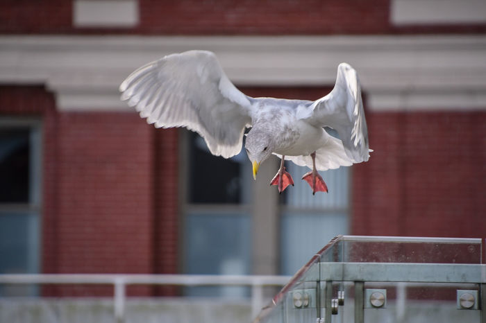 Flying Seagull City Nature Vancouver Animal Themes Animals In The Wild Architecture Bird Bird Flying Building Exterior Built Structure Canada Close-up Day Flying Flying Bird Flying Seagull Focus On Foreground Mid-air Motion No People One Animal Outdoors Red Seagull Spread Wings
