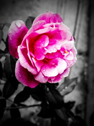 Black And White Friday Flower Pink Color Rose - Flower Fragility Nature Petal Flower Head Close-up No People Freshness Beauty In Nature Morning