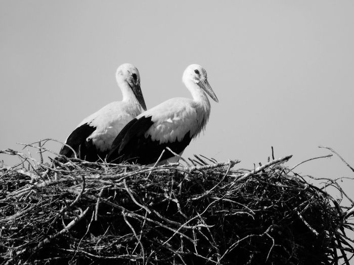 Aves Nido Família Blancoynegro Pares Elegancia Crías Cigüeñas Nido De Cigüeña // Birds Bird Photography Nest Family Nikon_photography Landcape_collection Blackandwhite Animal Themes Peers Elégance Puppies Storks Birds_collection Nikon P900 Nature