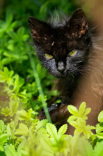 Domestic Cat Black Color Looking At Camera Animal Themes Portrait One Animal Cat Cats Of EyeEm Cats Cats 🐱