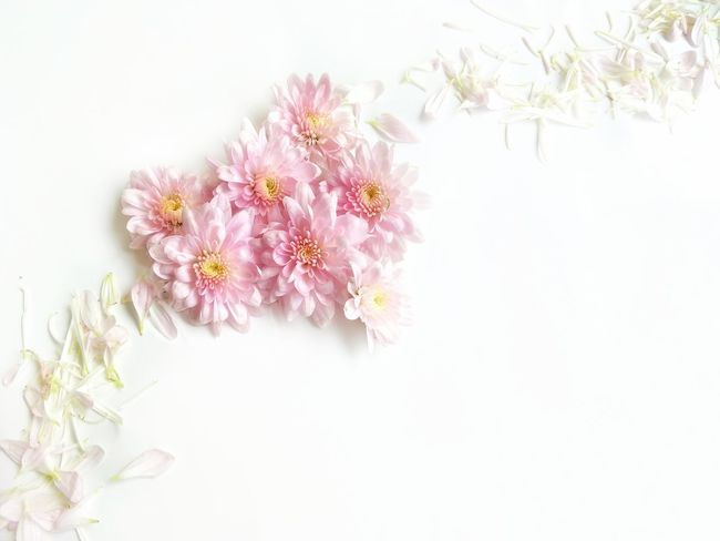 Soft focus of pink chrysanthemum flowers in heart shaped with blurred line of many petals on white background in love concept and flowers decorations design with space Heart Shape Chrysanthemum Decoration Design LINE Softly Focus Blur Background Love Valentine Romantic Romance Space High Angle View Arrangement Flower Head Flower White Background Defocused Pastel Colored Pink Color Blossom Springtime Close-up In Bloom Botany Pollen Petal Pistil Stamen Pale Pink