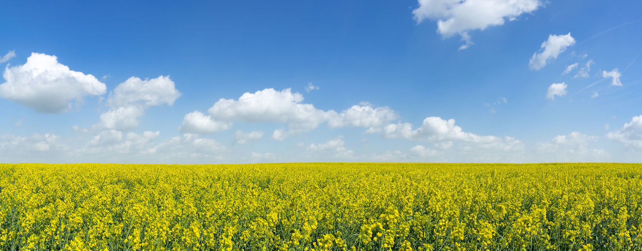Large, blooming rapeseed field with blue and white sky as a panoramic shot Agriculture BIG Field Flowering Nature Panorama Panoramic Plant Rapeseed Field Agricultural Field Blooming Blossom Blossoming  Canola Canola Field Countryside Crop  Header Horizon Landscape Large Rapeseed Spring Springtime Yellow
