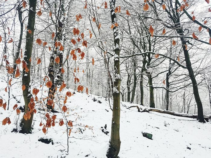Trees Winterwonder Yorkshireartist Snowy Christmas Winterwonderland December Snowscene Magical Snowcovered Narnia  Landscape Yorkshire Calderdale Beech Leaves Beech Leaves With Snow Backgrounds Full Frame Winter Outdoors Day No People Tree Snow Nature Cold Temperature Close-up Shades Of Winter