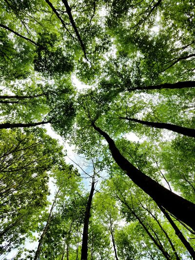 Birch Forest. Betula Lenta Betulalenta Forest Sky