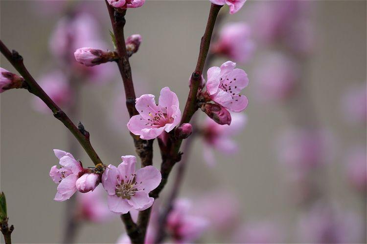 Peach Blossom Blossom Spring Springtime Tree Peachtree Open Edit Close-up EyeEm Gallery EyeEm Masterclass EyeEm Best Shots AMPt_community Ladyphotographerofthemonth