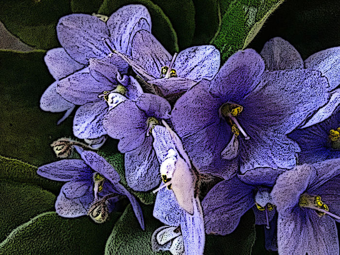Saintpaulia Ionantha African Violet Beauty In Nature Bloom Blossom Close-up Day Flora Floral Floriferous Flower Flower Head Fragility Freshness Growth Lilac Nature No People Outdoors Petal Plant Purple Violet Violet Flowers Violeta