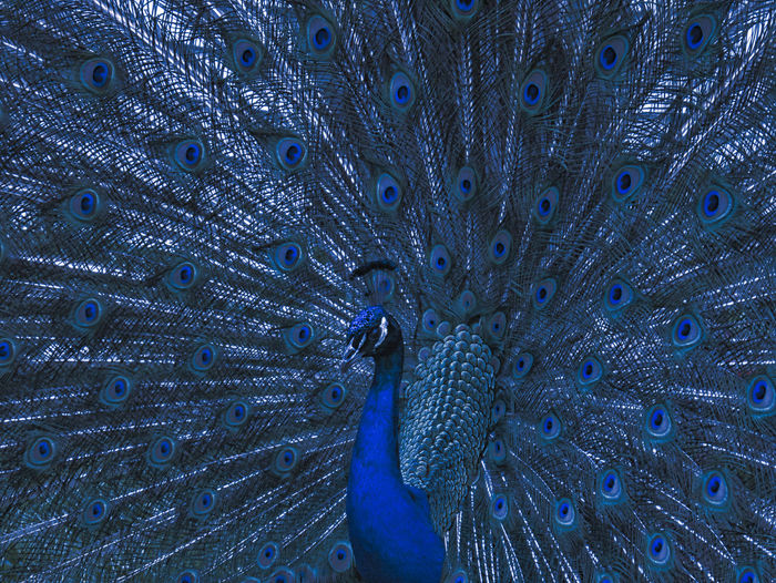 Blue Peacock Animal Animal Themes Peacock One Animal Vertebrate Full Frame Peacock Feather Animal Wildlife Feather  No People Bird Close-up Backgrounds Blue Fanned Out Animal Body Part Pattern Beauty Natural Pattern Animal Head  Animal Eye