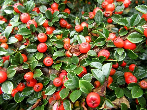 Cotoneaster berries Freshness Growth Backgrounds Red Close-up Full Frame Plant Nature Botany Beauty In Nature Day Abundance Green Color Outdoors No People Large Group Of Objects Berry Cotoneaster Bush Mizen Peninsula Ireland