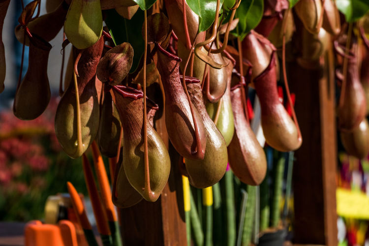 Close-up of pitcher flowers at market