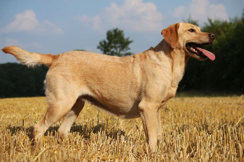 beautiful labrador is standing on a stubble field in the sunshine Labrador LabradorLove LabradorRetriever Animal Themes Day Dog Domestic Animals Field Labrador Retriever Landscape Mammal Nature No People One Animal Outdoors Pets Portrait Sky Stoppelfeld Stubble Field Stubblefield Summer Tongue Tree