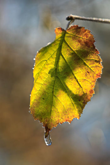 Close-up of yellow maple leaf against blurred background