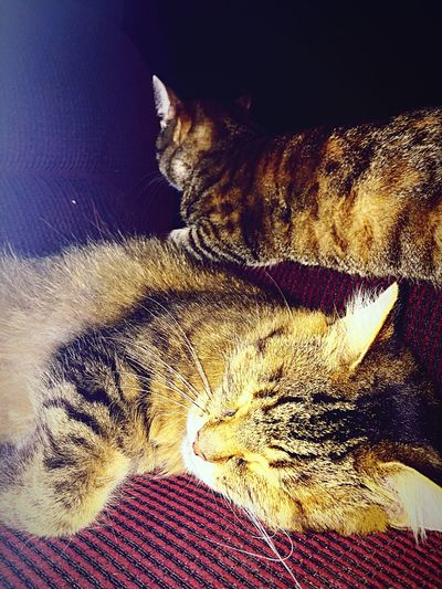 Animal Themes Domestic Cat Domestic Animals Pets Cat One Animal Mammal Sleeping Resting Indoors  Feline Relaxation Close-up Whisker Animal Head  Zoology Lying Down Animal Tabby Cozy Chewy & Yodi