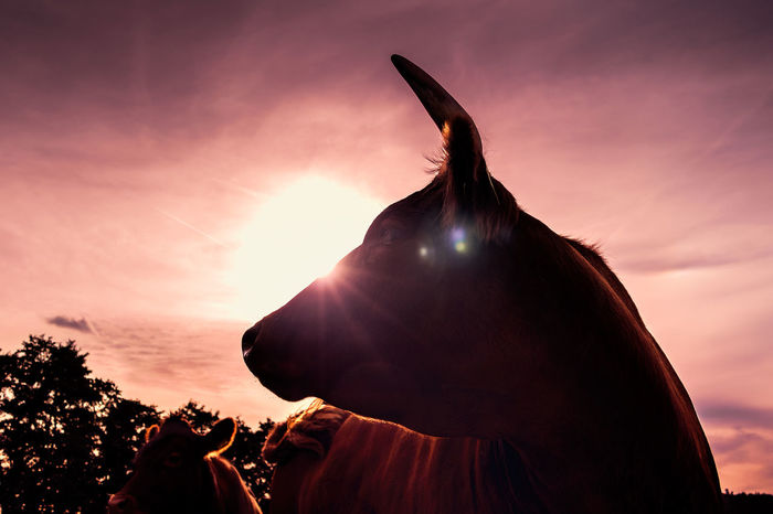 Animal Themes Bulle Cloud - Sky Cow Fotografie No People Outdoors Photography Portrait Silhouette Sky STIER Sunset