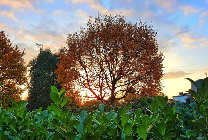Sunset over the hedge. Growth Sky Cloud - Sky Sunset Beauty In Nature Autumn Sunset Fall Sunset Fall Trees Garden OverTheHedge