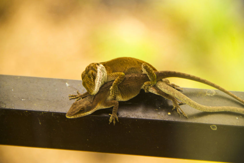 cigarette anyone? Animal Themes Animal Wildlife Animals In The Wild Anole Lizard Chameleon Close-up Day Grasshopper Insect Love Nature No People One Animal Outdoors Perching
