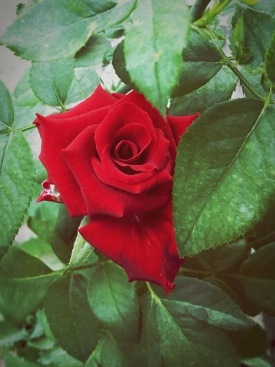 The lipstick journey Roseflower Rosé Flower Plant Flowering Plant Rose - Flower Beauty In Nature Petal Freshness Leaf Plant Part Flower Head Nature Growth Close-up Red Inflorescence