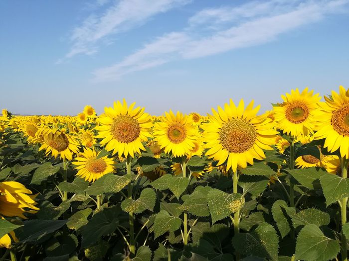 Flower Head Flower Yellow Rural Scene Sunflower Blue Field Agriculture Uncultivated Petal