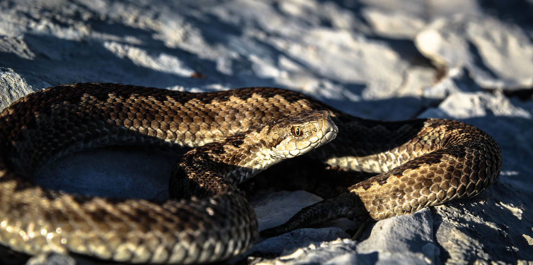 Animal Scale Animal Themes Animal Wildlife Animals In The Wild Close-up Day Nature No People One Animal Outdoors Reptile Rock - Object Snake Sunlight Venomous Viper  Vipera Vipera Graeca