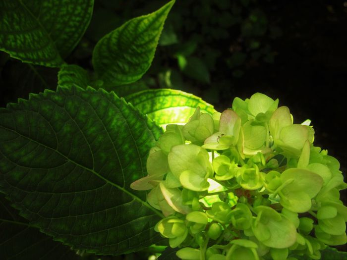 Hydrangea Nature Close-up Flower Flowering Plant Green Color Leaf Nature No People Outdoors Plant