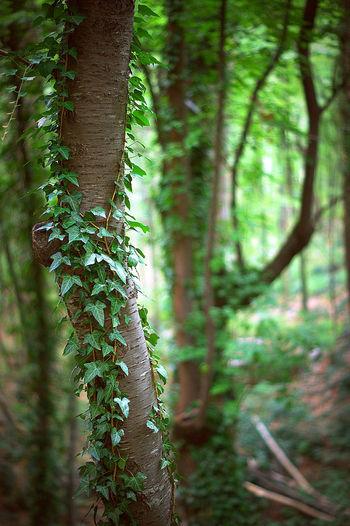 Crimea Forest Green Color Ivy Liana