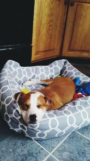 My little guy Terrier Mutt Northshoreanimalleague Rescue Puppy Nap