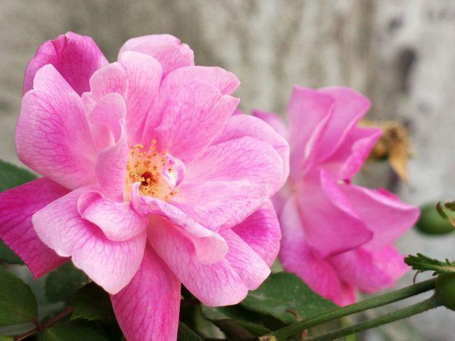 || Nature Theories || Delhi, India. TheFoneFanatic Macro Nature PhonePhotography Mobilephotography Nokia808 Bokeh Pollen Rose - Flower Delhi Flower Head Flower Pink Color Petal Springtime Close-up Plant