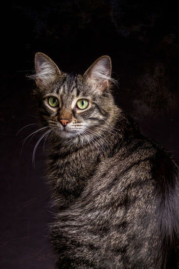 Housecat sitting attentively on black Background. Animal Themes Black Background Close-up Domestic Animals Domestic Cat Feline Indoors  Looking At Camera Mammal Night No People One Animal Pets Portrait Sitting Whisker Pet Portraits
